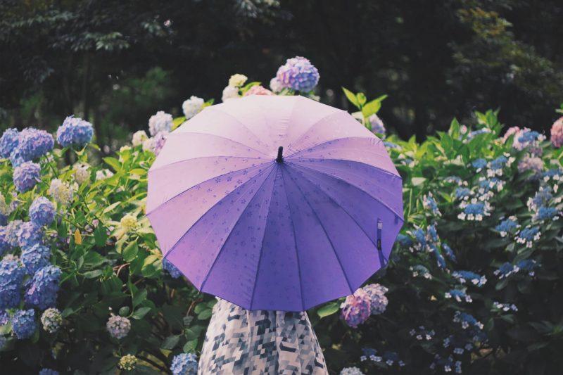 あじさいの名所,紫陽花,アジサイ